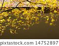 新鮮的綠色楓樹 14752897