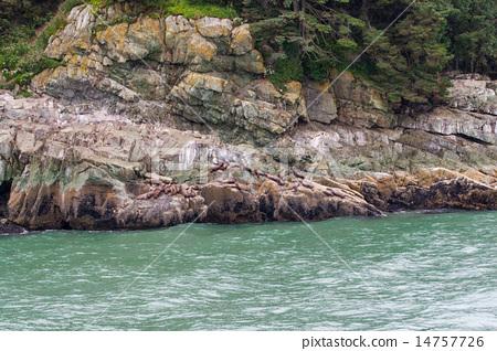 Colony of sea lions at Resurrection Bay, Alaska 14757726