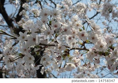 Koshien's cherry tree 2015 14758347