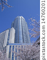 roppongi hills, yoshino cherry tree, yoshino cherry 14760201