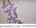 weeping cherry, weeping cherry tree, abloom 14760309