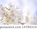 yoshino cherry, yoshino cherry tree, prunus yedoensis 14760310