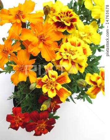 4 종류의 금잔화 꽃 14763678