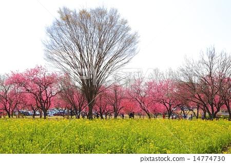 Stock Photo: row of trees, tenderstem broccoli, green flower