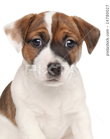 Jack Russell terrier puppy 14780027