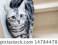 美國短毛貓 貓 貓咪 14784478