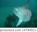 sunfish, ocean, fish 14784621