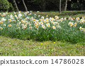 日比谷公園的日本水仙花 14786028