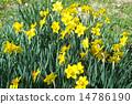 日比谷公園的小號水仙花 14786190