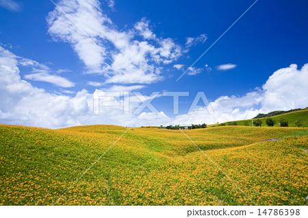 滿山遍野的金針花 14786398