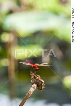 歇息的蜻蜓 14786435