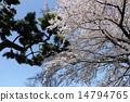 벚꽃과 소나무의 대비 14794765