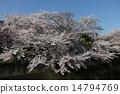 벚꽃 나무 14794769