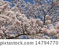 주렁주렁 피어난 벚꽃 14794770