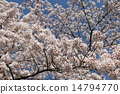 Cherry blossoms blooming in Suzuka 14794770