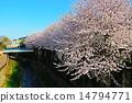 강변의 벚꽃 14794771