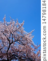 Blue Sky and Cherry 14798184