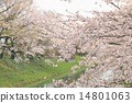 Cherry tree in full bloom 14801063