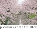 Cherry blossom trees in full bloom 14801070