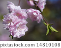 flower, cherry blossoms, efflorescence 14810108
