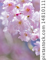 flower, cherry blossoms, efflorescence 14810111