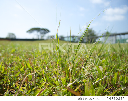Green grass in Singapore 14810832