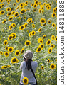 Get on the sunflower field 14811888