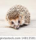 Small Funny Hedgehog On Wooden Floor 14813581