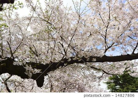 Cherry Blossoms 14827806