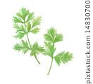 coriander, cilantro, chinese 14830700
