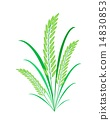 Cereal Plants or Green Rice on White Background 14830853