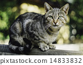 Gray tabby cat staring with blurred background 14833832