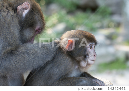 Japanese macaques 14842441