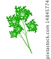 Fresh Green Parsley on A White Background 14845774
