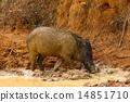 Wild boar 14851710