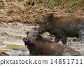 Wild boar 14851711