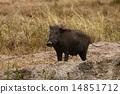 Wild boar 14851712