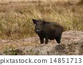 Wild boar 14851713