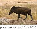 Wild boar 14851714