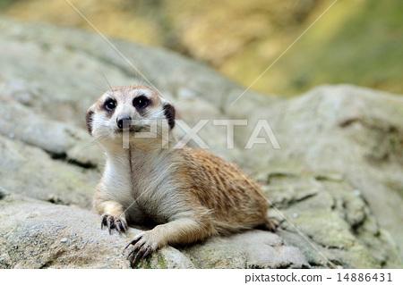 Meerkat (Suricata suricatta)  14886431