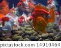 Goldfish Ryukin 14910464