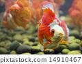 Goldfish Ryukin 14910467