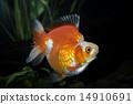 Goldfish Ryukin 14910691