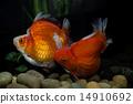 Goldfish Ryukin 14910692