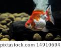 Goldfish Ryukin 14910694