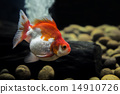 Goldfish Ryukin 14910726