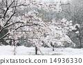 벚꽃, 눈, 스노우 14936330