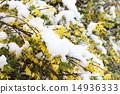 개나리, 눈, 스노우 14936333
