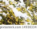 개나리, 눈, 스노우 14936334
