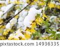 weeping forsythia, snow, snowy 14936335